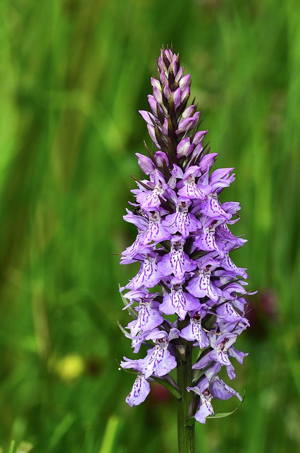 common-spotted-orchid-colin-varndellscience-photo-library